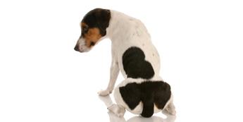 Gyvūnų analinių liaukų problemos