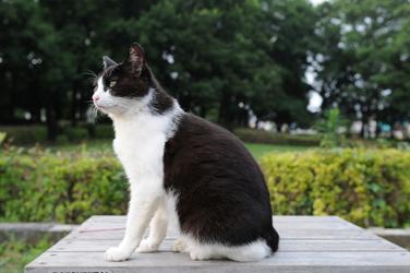 Baltai juoda katė