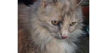 Sena katė