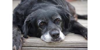 Kaip rūpintis senstančiu šunimi?