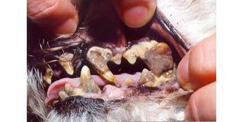 Burnos higiena ir šuns sveikata