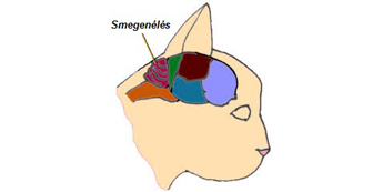 Kačių smegenėlių hipoplazija