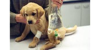 Šunų parvovirusas : simptomai, gydymas ir prevencija