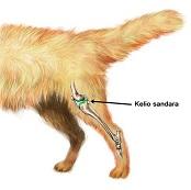 Šunų kelio sąnario kryžminio raiščio trūkimas – viena pagrindinių šlubavimo priežasčių