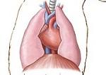 Širdis ir plaučiai